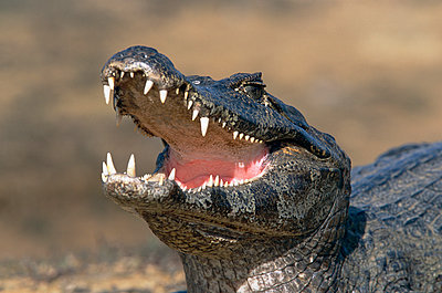 A caiman with his mouth open - p5751543f by Lars-Olof Johansson
