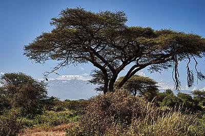 Umbrella thorn, Kenya - p706m2158440 by Markus Tollhopf