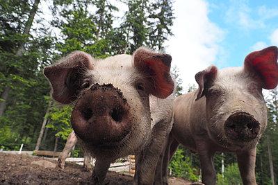 Pigs - p338m2185357 by Marion Beckhäuser