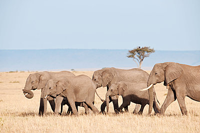 African elephants with young - p533m1215494 by Böhm Monika