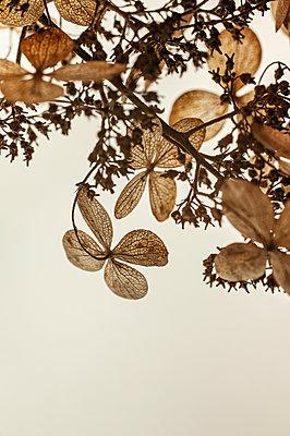 Hydrangea flowers - p971m2181442 by Reilika Landen