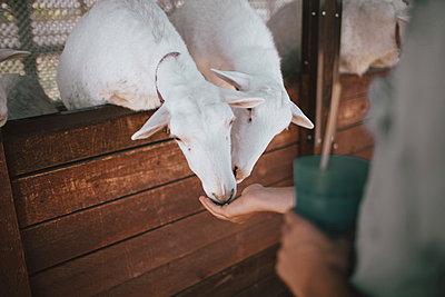 Man feeding goats in farm - p1166m1182895 by Cavan Images