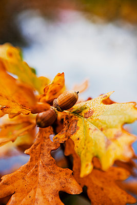 Close-up of acorns with leaves - p1185m1080803f by Astrakan