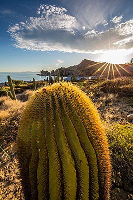 Sunset on an endemic giant barrel cactus  on Isla Santa Catalina, Baja California Sur, Mexico, North America - p871m1082137 by Michael Nolan