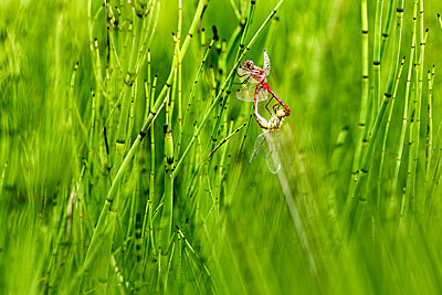 Two dragonflies in oviposition, close-up - p300m2079460 by David Santiago Garcia