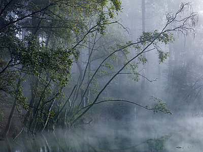 Enchanted forest, mist shrouds the trees around Dead Lake in Delamere Forest, Cheshire, England, United Kingdom, Europe - p871m1480390 by Garry Ridsdale