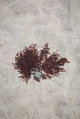 Seaweed attached to a stone at low tide - p1682m2264038 by Régine Heintz
