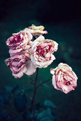Pink roses decaying in garden - p301m2018306 by Norman Posselt