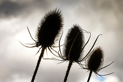 Three thistles against cloudy sky - p1312m2229772 by Axel Killian