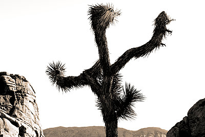 Joshua Tree - p1489m1575410 by Paul Simcock