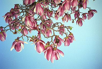 Blossoming tree - p4903347 by Tobias Thomassetti
