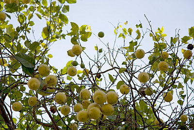 Lemon tree - p3881708 by Ulrike Leyens