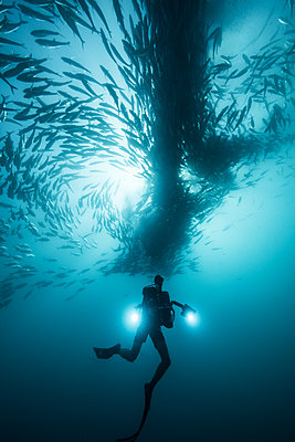Underwater view of scuba diver diving below shoaling jack fish in blue sea, Baja California, Mexico - p924m1519376 by Rodrigo Friscione