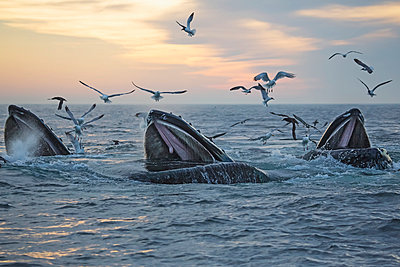 Humpback whales  and a flock of birds on the surface of the water at sunset; Massachusetts, United States of America - p442m1033685 by Eric Kulin