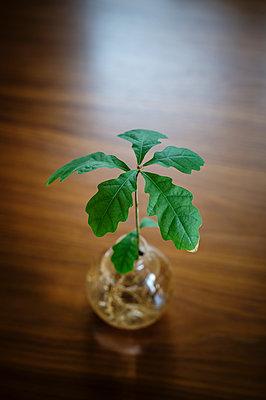 Oak tree in vase - p312m1470871 by Fredrik Schlyter
