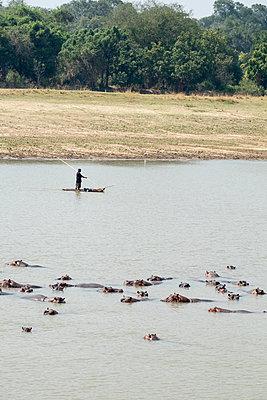 Flusspferde im Südluangwa-Nationalpark - p842m1538227 von Renée Del Missier