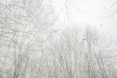 Raben über einem Wald im Nebel - p1488m2259847 von Sid Miller