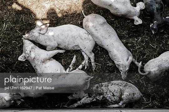 Schwein - p417m1162947 von Pat Meise