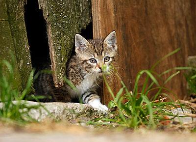 Tabby kitten, Felis silvestris catus, leaving old barn - p300m950732f by Silke Klewitz-Seemann