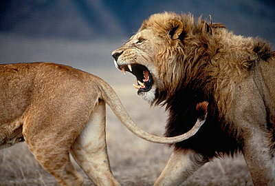 African Lion male approaching female to mate - p884m862239 by Mitsuaki Iwago