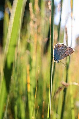 Butterfly on blade of grass - p1412m1588952 by Svetlana Shemeleva