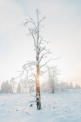 Snow-covered tree at sunset - p586m2005093 by Kniel Synnatzschke