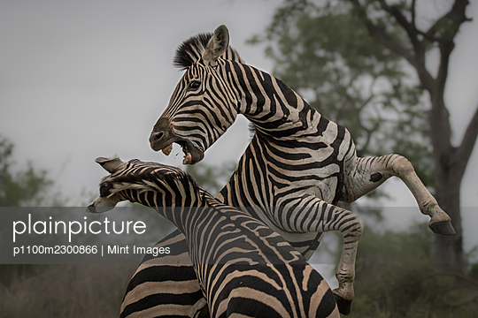 Two zebras, Equus quagga, raise up on their hind legs and fight - p1100m2300866 by Mint Images