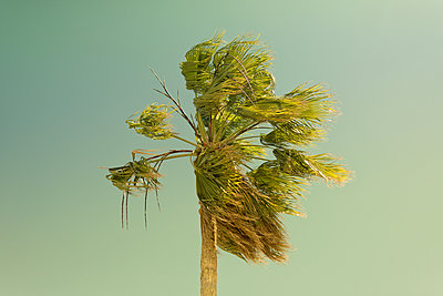 Palm Tree Blowing in the Wind - p1335m1171628 by Daniel Cullen