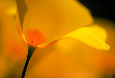 A close up view of a yellow flower blossoming, Arizona, USA. - p343m1021119f by Peter Essick