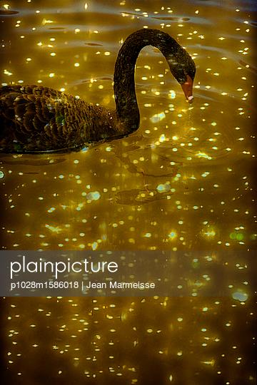 Black swan - p1028m1586018 by Jean Marmeisse