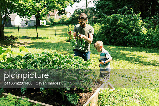 A father and son harvesting kale for dinner - p1166m2201480 by Cavan Images