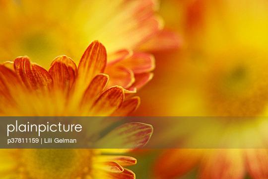 Yellow chrysanthemums - p37811159 by Lili Gelman