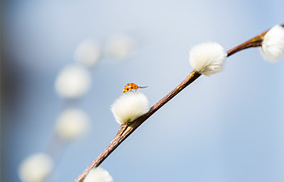 Pussy willow, Salix, with ladybird - p300m1140765 by JLPfeifer