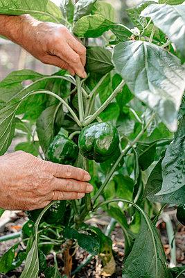 Senior man touching fresh plants in vegetable garden - p300m2276978 by Oxana Guryanova