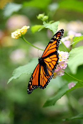 Monarch Butterfly - p406m710160 by clack