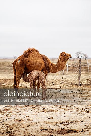 Kamelmutter mit Kind - p1319m1525337 von Christian A. Werner
