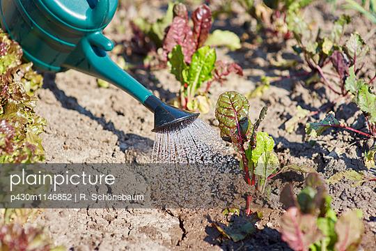 Vegetable patch - p430m1146852 by R. Schönebaum
