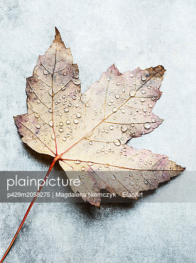 Water droplets on upside down autumn leaf, still life, overhead view - p429m2058275 by Magdalena Niemczyk - ElanArt