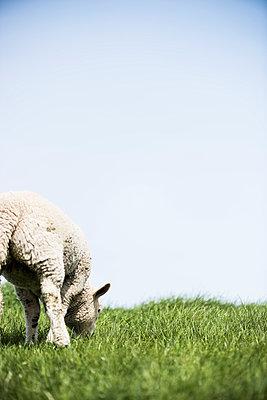 Sheep - p1076m1016338 by TOBSN