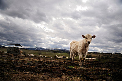 Charolais-Rinder - p8290061 von Régis Domergue