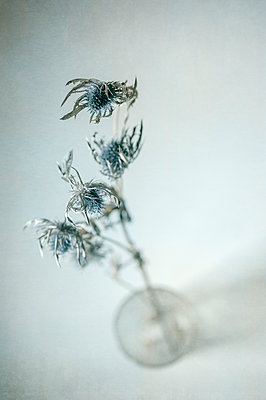 Dried sea holly thistle heads on stalks in a glass jar from above against a light background - p1047m2184943 by Sally Mundy