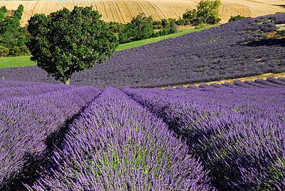 Lavendelfelder auf einem Abhang - p1468m1527647 von Philippe Leroux