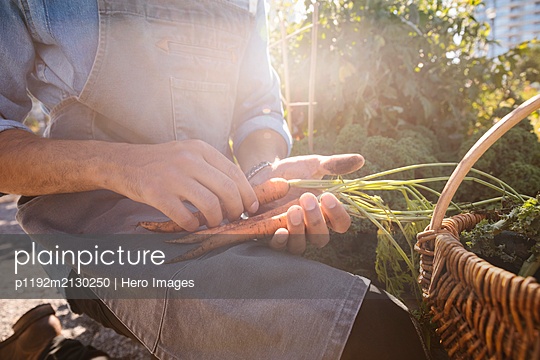 Close up male chef harvesting fresh carrots in sunny garden - p1192m2130250 by Hero Images