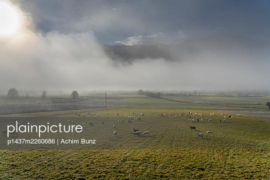Flock of sheep in the morning fog, Kärnten, Austria - p1437m2260686 by Achim Bunz