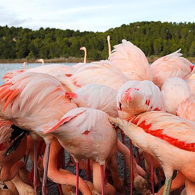 Flamingos - p1105m2145185 by Virginie Plauchut