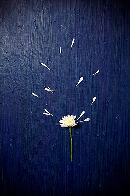 Chrysanthemenblüte mit losen Blättern - p1248m2287870 von miguel sobreira