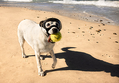 Dog with tennis ball and diving glasses on the beach - p1640m2246083 by Holly & John