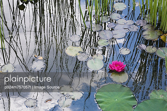 Water lilies floating in pond - p924m757057f by Image Source
