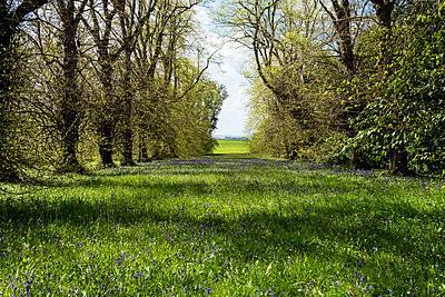 Landscape view with row of trees and carpet of blue wild flowers. - p1100m2010763 by Mint Images