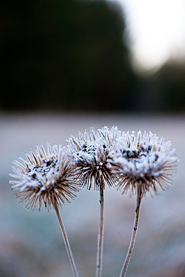 Thistles with hoar frost - p533m970783 by Böhm Monika